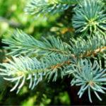 Новый Год — хороший повод посадить дерево